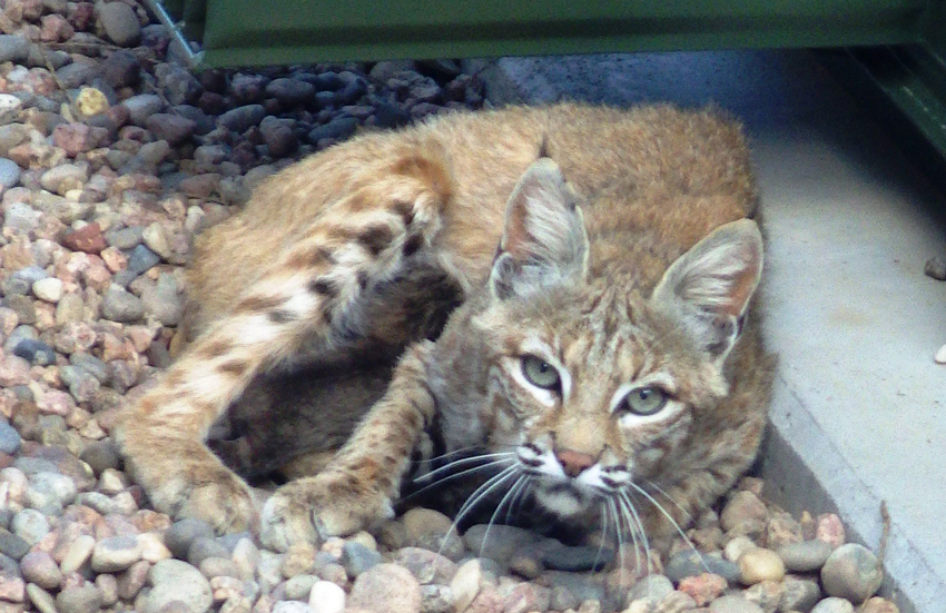 Mama bobcat and her babies had little impact on PCAPP EDS operations aside from garnering some attention while the generator was serviced.